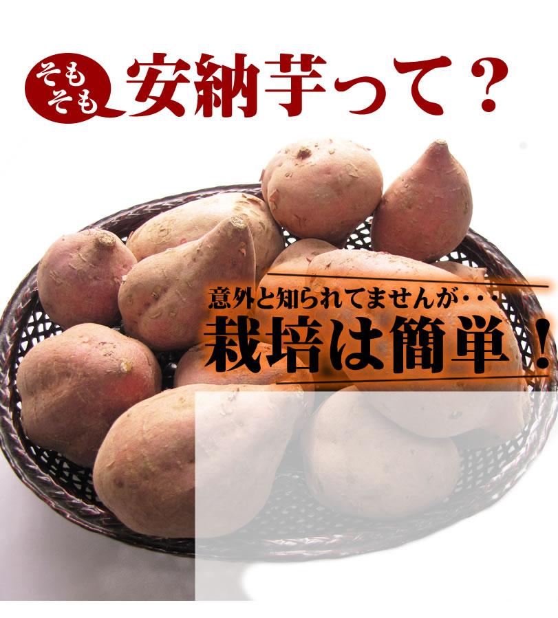 安納芋について