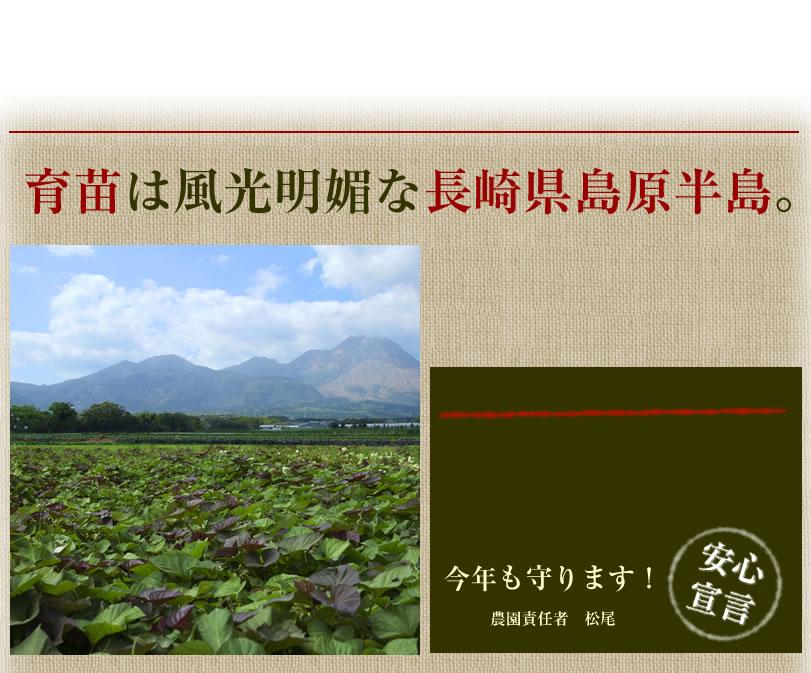こだわりの安納芋の苗。、育苗は島原半島。農薬不使用