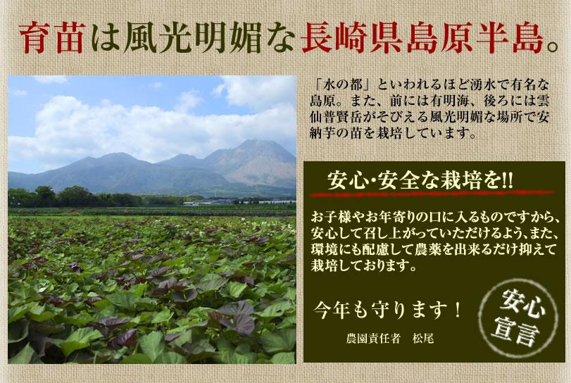 こだわりの安納芋苗。育苗は島原半島。農薬不使用