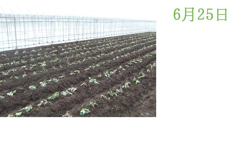 サツマイモ畑農園便り サツマイモの様子