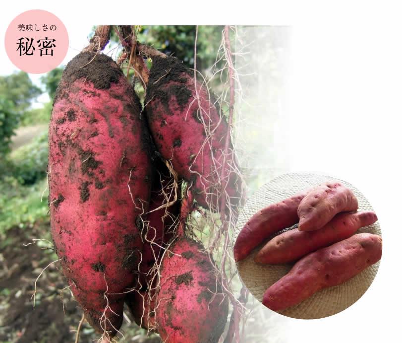 おいしい原種安納芋 焼き芋