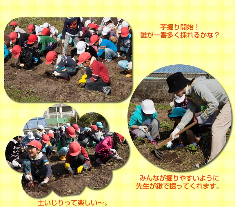 島原第三小学校の芋の収穫