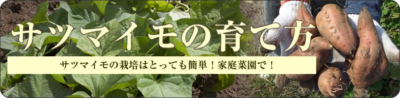 安納芋の苗の育て方
