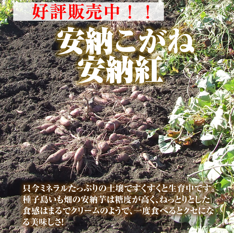 安納芋 生芋の販売開始